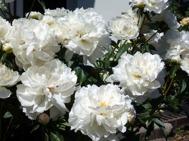 Nu är det Sommar och blommorna och Gunnebomusikkår visar sig från den bästa sidan.