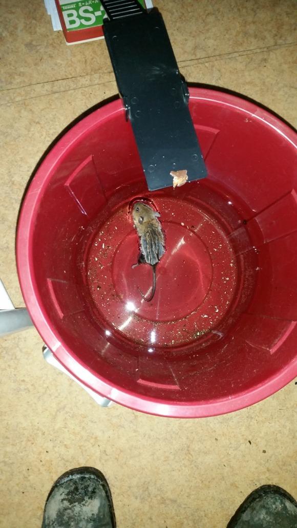 Kamikaze-mus som tydligen inte behövde nåt bete för att vilja avsluta sitt liv i köket.
