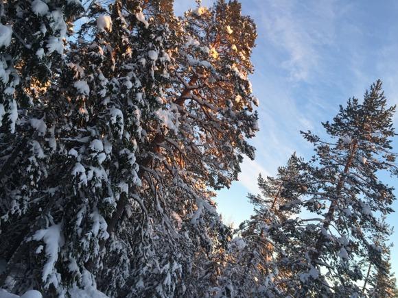 Martina motionerade i knäpdjup snö uppför berget. Väldigt bra motion!!! Fina tallar i kvällsljus på vägen.
