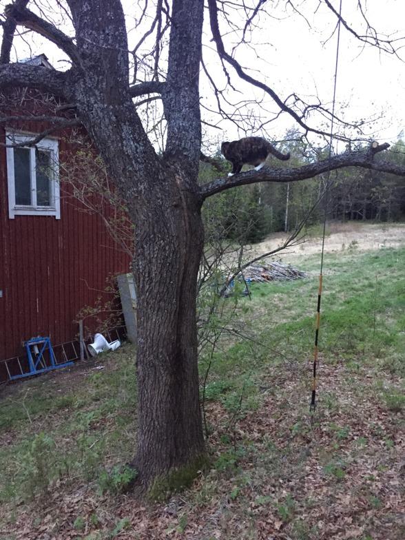 Tiffin provklättrar i eken. Maj 2016.