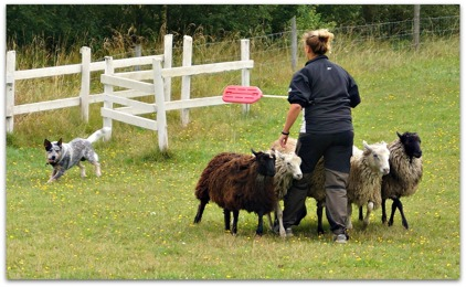 Demo herding with his owner Hannah