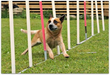 Rizla showing of her moves on the Agility course!