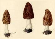 Sporsäcksvampar - Naturhistoriska riksmuseet