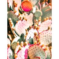 Cacti Dream