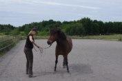 ...så att hästen flyttar sitt bakben ett steg.