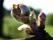 Knoppning av vindruvor