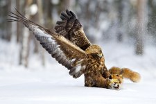 Golden eagle - fox faaaaaa