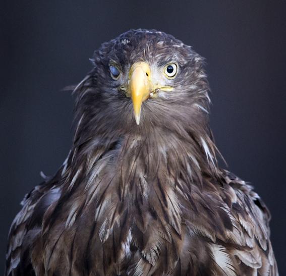 One eyed Sea eagle