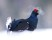 Black grouse this morning