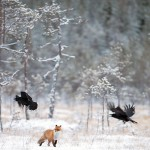 red fox11-296raven