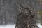 Duvhök (Accipiter gentilis) 011