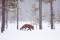 Rödräv (Vulpes vulpes) 011
