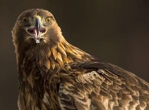 Golden eagle portrait-3509 kopia