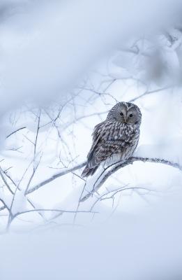 Slaguggla snö 01  (1 av 1)