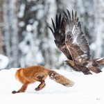 Golden eagle vs Red fox