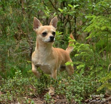 Hovslagar hunden Brolle av rasen Chihuahua :)
