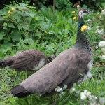 Påfåglar_17 - Kopia