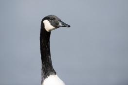Canada goose / Kanadagås_DSC0055 (2)