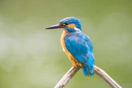 Kingfisher / Kungsfiskare_DSC0451