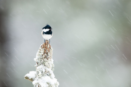 Coal tit / Svartmes_DSC1590