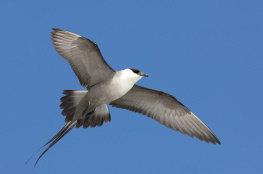 Long tailed skua / Fjällabb
