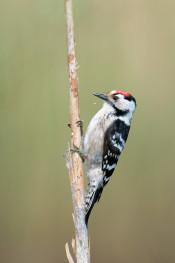Lesser spotted woodpecker / Mindre hackspett