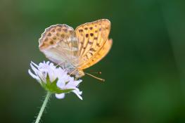 Pearl butterfly / Pärlemofjäril_DSC0691