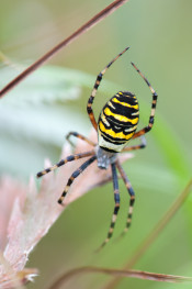 Wasp spider / Geting spindel_DSC7618