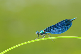 Beautiful demoiselle / Blå jungfruslända