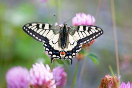 Swallowtail / Makaonfjäril