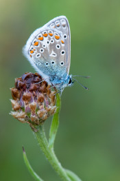 Common blue / Pucktörneblåvinge