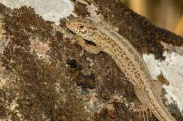 Sand lizard / Sandödla