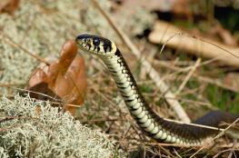 Grass snake / Snok 2