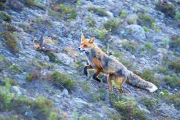 Fox / Räv_DSC5151