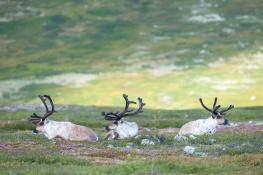Reindeer / Ren_DSC6393