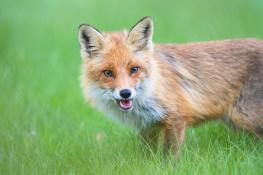 Fox / Räv_DSC9692