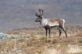 Reindeer / Ren_DSC4411