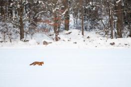 Fox / Räv