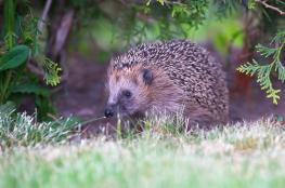 Hedgehog / Igelkott_DSC0059