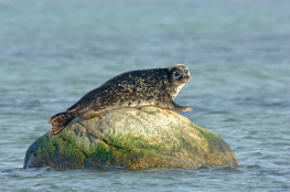 Common seal / Knubbsäl