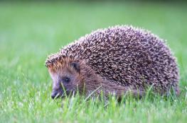 Hedgehog / Igelkott_DSC0077
