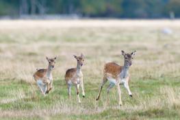 Fallow deer / Dovhjort 4