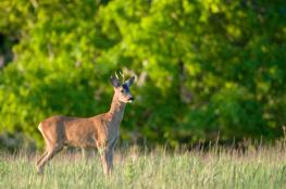 Deer / Rådjur 1