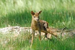 Deer / Rådjur 2