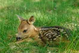Deer / Rådjur 3