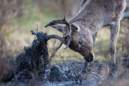 Fallow deer / Dovhjort 5