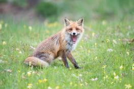Fox / Räv_DSC8400