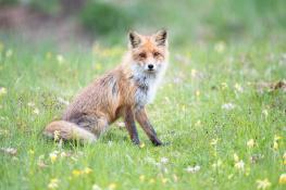 Fox / Räv_DSC8420