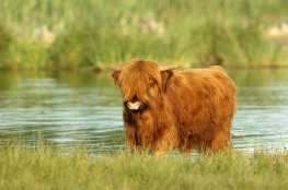 Highland cattle 2