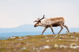 Reindeer / Ren